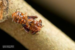 Leafhopper nymph (cf. Hylicinae) - DSC_3100