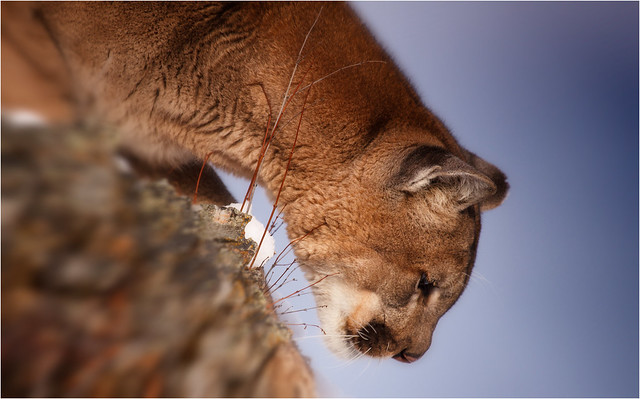 adult male cougar 006