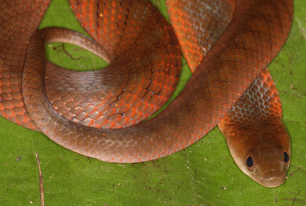 Velvety Swamp Snake (Liophis typhlus typhlus)
