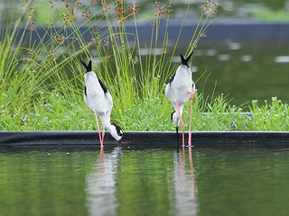 Black-necked Stilts | by Oleg Chernyshov