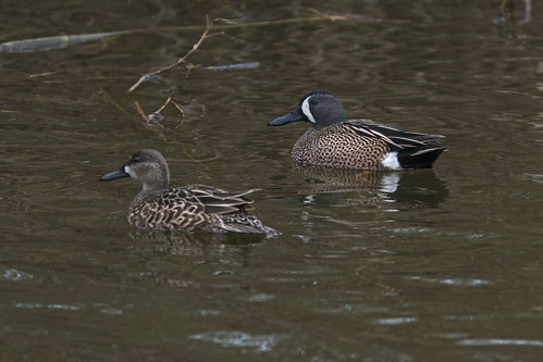 Blue-winged Teals | by Stephen J Pollard (Loud Music Lover of Nature)