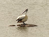 Spot-billed Pelican (Pelecanus philippensis) by Francisco Piedrahita