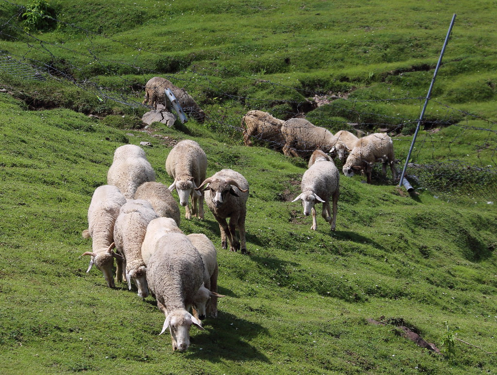Sheep high in the Kashmir mountains | Paul Snook | Flickr