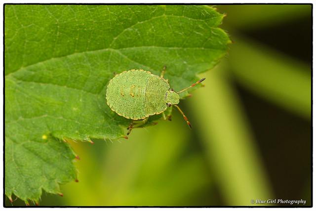 Common Green Shieldbug (3rd instar)