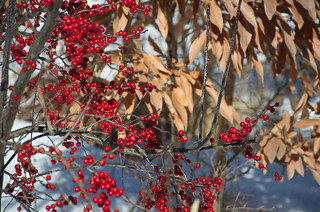 Red berries | by dee_dee_creamer