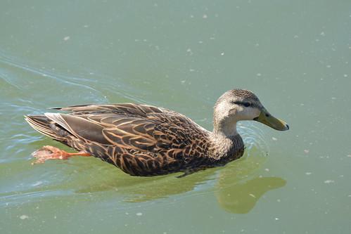 Mottled Duck | by Wildreturn
