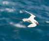 Red-tailed Tropicbird in Flight by philhaber