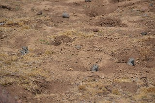 Bale Mountains Rodents | by curtisfrommichigan