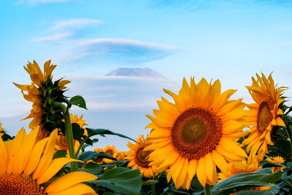 Sunflower close | 山中湖 花の都公園 2016:08:06 05:27:40 ヒマワリ ...