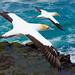 Gannets in flight by Guy Campbell 18