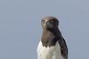 Black-breasted Snake-Eagle, Sakania, DR Congo by Terathopius