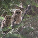 Flickr photo 'Mexican Spotted Owlets, Strix occidentalis lucida (Nelson, 1903)' by: Misenus1.