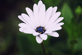 Blue Eyed Daisy | by Shamu's Photography