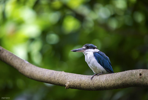 The collared kingfisher or mangrove kingfisher.(Todiramphus chloris | by surferjaws