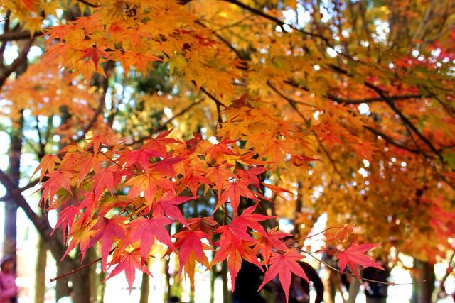 福壽山農場的楓葉-台中市和平區梨山-Red leaves, Fu-shou-shan Farm, Heping, Taichung City, Taiwan
