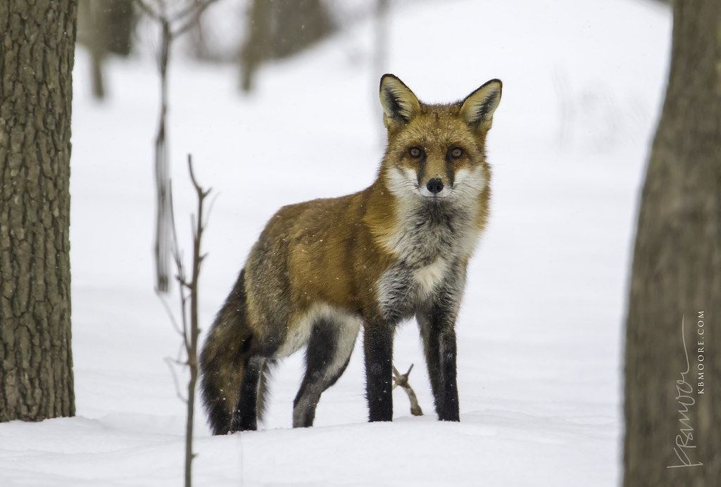 Fox in my backyard | Just a few minutes ago, it's the ...