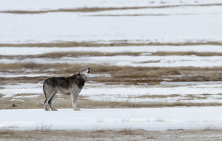 Alpha male (712) of the Canyon pack in the Lower Geyser Basin | by YellowstoneNPS