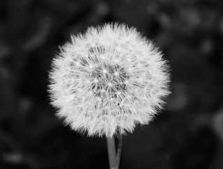 dandelion clock | by LakesBecky
