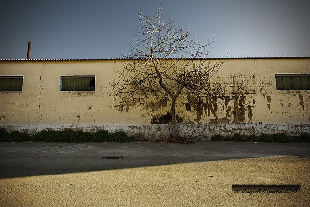 Isolated Fig Tree