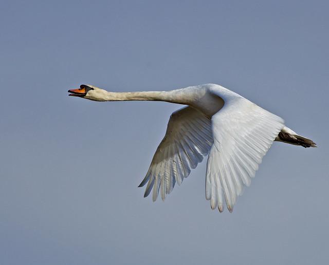 Mute Swan - Swan Song !!