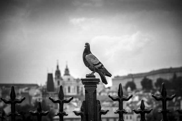 Czech Republic - Prague - Charles Bridge (Karlúv most) - Pigeon