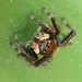White-banded House Jumping Spider - Photo (c) epitree, some rights reserved (CC BY-NC)