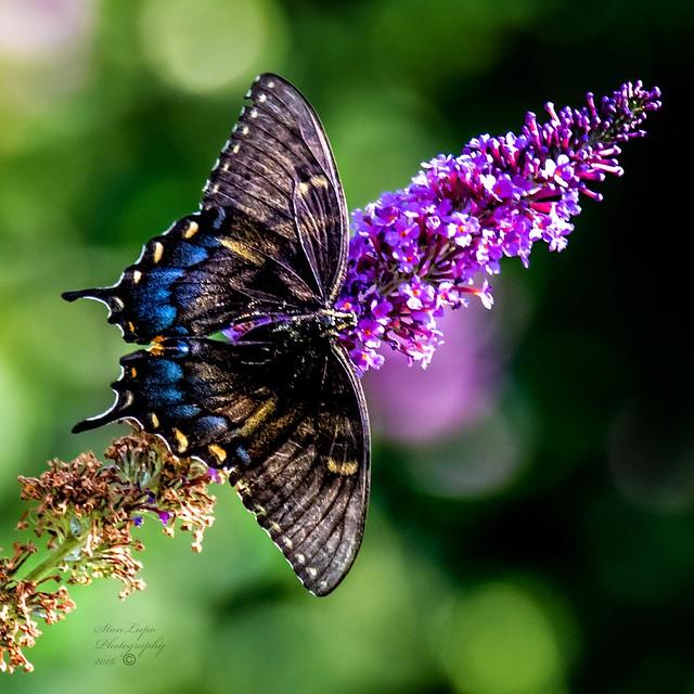 Black Swallowtail on Butterfly Bush II