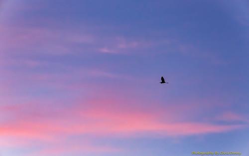skies sky birds egret sunrise soaring flying landscapes outdoors