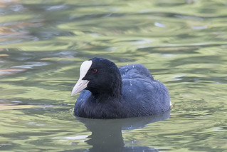 Eurasian Coot | by RuudVisser