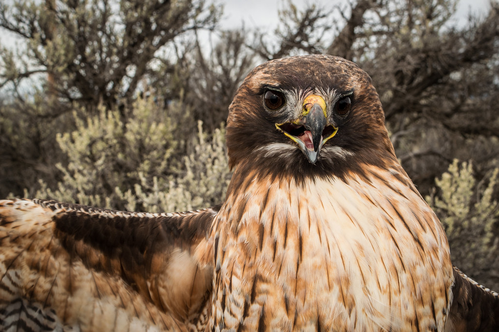 Adult Western Red-tailed Hawk