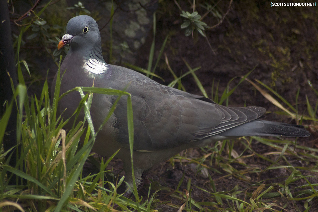 A pigeon that keeps visiting the garden