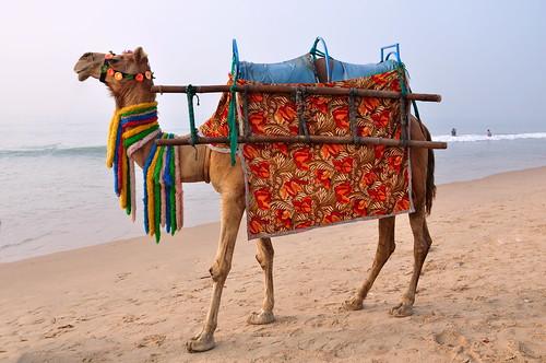 india odisha puri asienmanphotography camel
