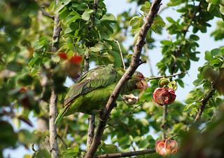 Pericos comiendo guamuchiles | Una parvada de 8-10 ...  Guamuchiles