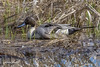 Northern Pintail by lamoustique