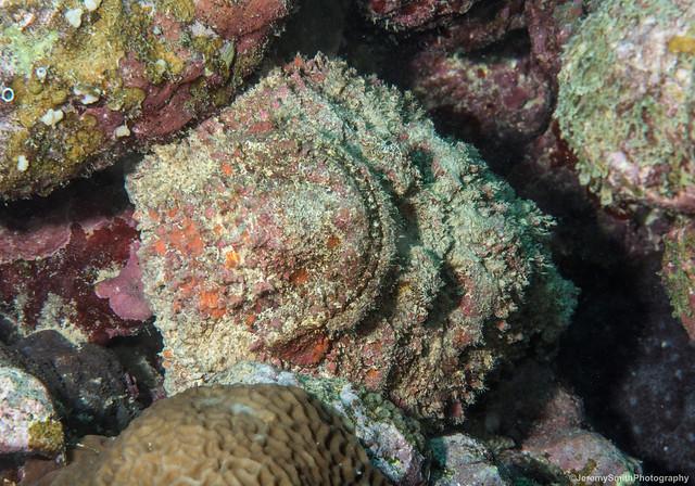 Stonefish, Synanceia verrucosa, Grand Baie, Mauritius
