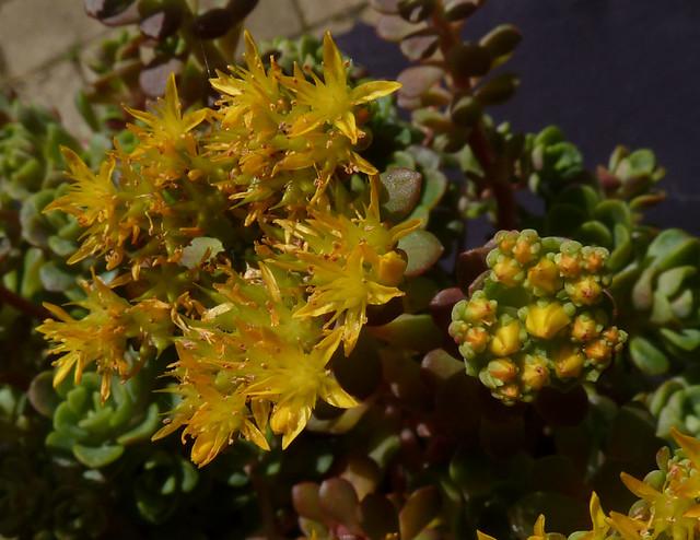 Sedum spathulifolium forme x