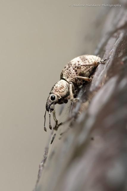 Blosyrus sp
