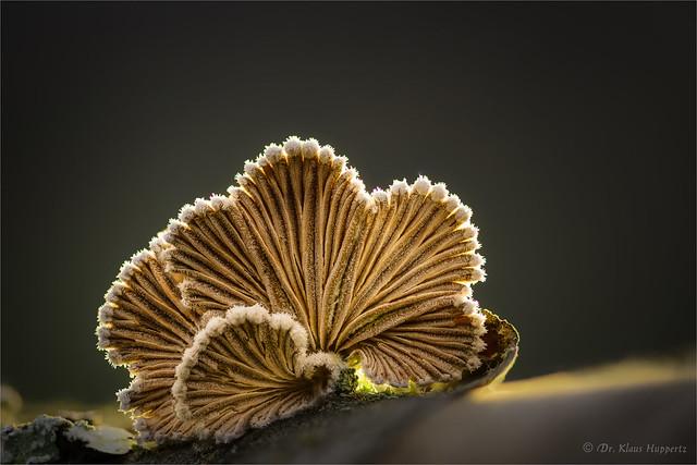 Schizophyllum (IV)