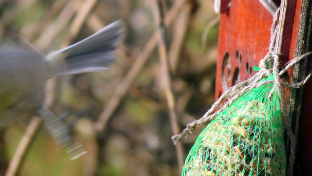 Sinitihane (Parus caeruleus syn. Cyanistes caeruleus)