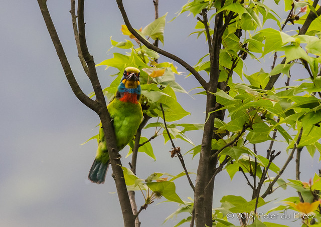Taiwan barbet (Psilopogon nuchalis)