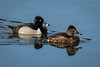 Ring-necked Ducks by jrp76