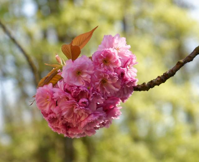 Bouquet de fleurs de cerisiers du Japon devant le parc du château Charles Albert