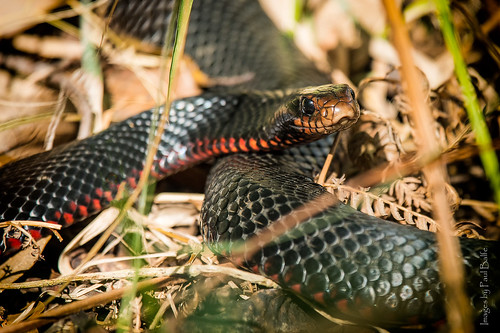 Snake in the Grass | by PaulBalfe