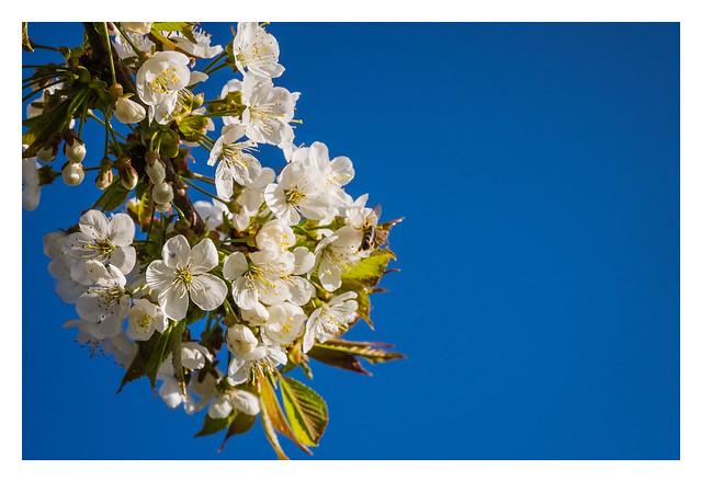 Sakura - Cherry Blossom - さくらさくら - Springtime