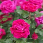 Rose, Druschki Rubra, バラ, ドルシュキ ルブラ,