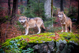 Bavarian Forest National Park - Wolves 3 | by MrT HK