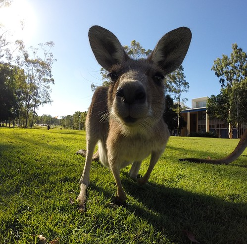 So chill #2, Kangaroo, USC Sippy Downs campus