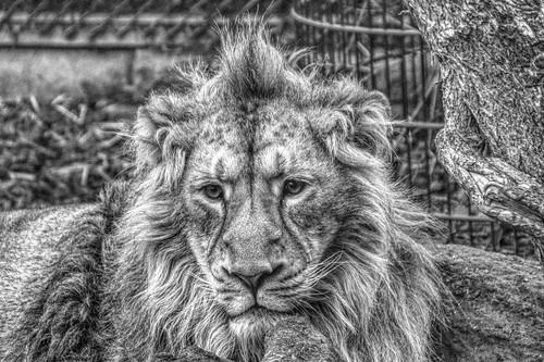 lion bristolzoo bristol england winter cold grey mane soulful bestviewedlarge monochrome blackandwhite