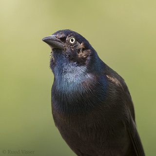 Common Grackle | by RuudVisser