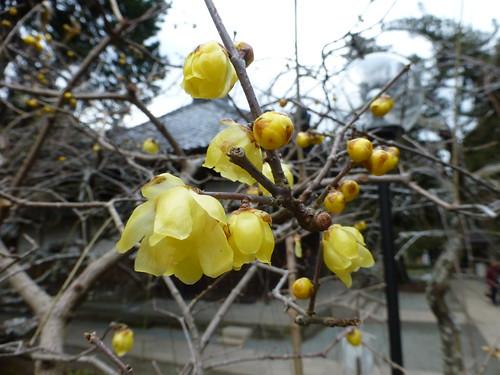 Sat, 17/01/2015 - 14:17 - ロウバイ ー 浄智寺